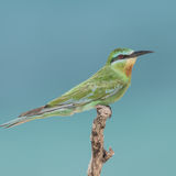 Blue-cheeked Bee-eater (3)
