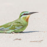 Blue-cheeked Bee-eater (4)