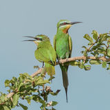 Blue-cheeked Bee-eater (5)