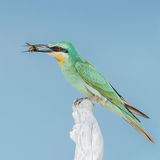 Blue-cheeked Bee-eater (6)