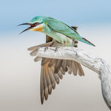 Blue-cheeked Bee-eater (7)