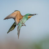 Blue-cheeked Bee-eater (8)