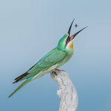 Blue-cheeked Bee-eater (9)