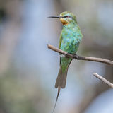 Blue-cheeked Bee-eater (10)
