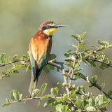 European Bee-eater (1)