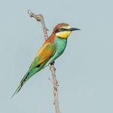 European Bee-eater (2)