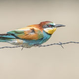 European Bee-eater (4)