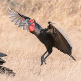 Southern Ground-Hornbill (2)