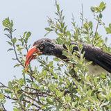 Crowned Hornbill (4)