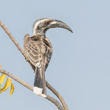 African Grey Hornbill (1)