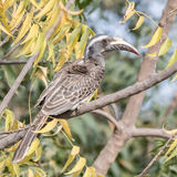 African Grey Hornbill (3)
