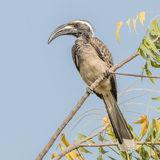 African Grey Hornbill (4)