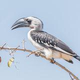 Von der Decken's Hornbill (2)