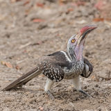 Southern Red-billed Hornbill (2)