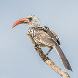 Western Red-billed Hornbill (1)