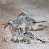 Western Red-billed Hornbill (2)