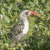 Tanzanian Red-billed Hornbill (2)