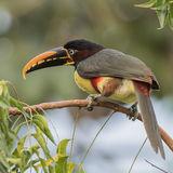 Chestnut-eared Aracari (1)