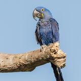 Hyacinth Macaw (3)