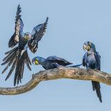 Hyacinth Macaw (5)