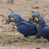Hyacinth Macaw (7)
