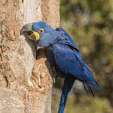 Hyacinth Macaw (8)