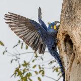 Hyacinth Macaw (10)