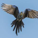 Hyacinth Macaw (11)