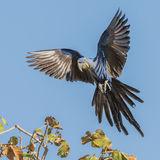 Hyacinth Macaw (12)
