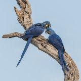 Hyacinth Macaw (13)