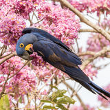 Hyacinth Macaw (15)