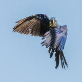 Hyacinth Macaw (17)