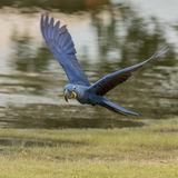 Hyacinth Macaw (18)