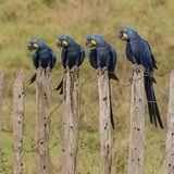 Hyacinth Macaw (19)