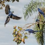 Hyacinth Macaw (20)