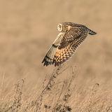 Short-eared Owl (5)