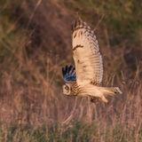 Short-eared Owl (15)