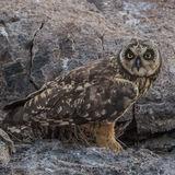 Short-eared Owl (22)