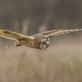 Short-eared Owl (16)