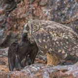Short-eared Owl (23)