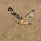 Short-eared Owl (17)