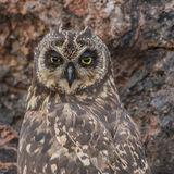 Short-eared Owl (24)