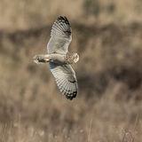 Short-eared Owl (18)