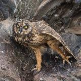 Short-eared Owl (25)