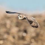 Short-eared Owl (19)
