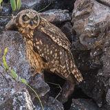 Short-eared Owl (26)