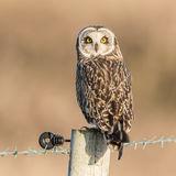 Short-eared Owl (20)
