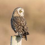 Short-eared Owl (21)
