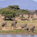 African Elephant (1)