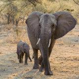 African Elephant (7)